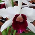 Photos: C.purpurata fam. semi-alba 'Cindarosa'  (69)