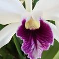 Photos: C.purpurata var.coerulea×sibling  (56)