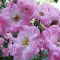 Photos: ピンクのつるバラ