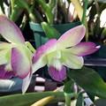 Photos: Den.phalaenopsis