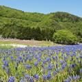 Photos: 花畑[ムスカリの花」