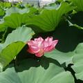 上野恩賜公園の蓮の花