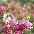写真: バラとモンキチョウ2~♪