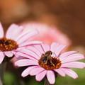 写真: キンセンカにハナバチ2
