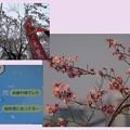 Photos: 桜三様