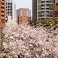 Photos: 桜坂2
