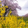 大河原ひと目千本桜-06365