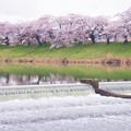 大河原ひと目千本桜-06350