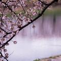 大河原ひと目千本桜-06343
