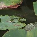 蓮池のギンヤンマ