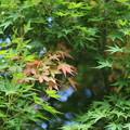 Photos: 緑葉と紅葉