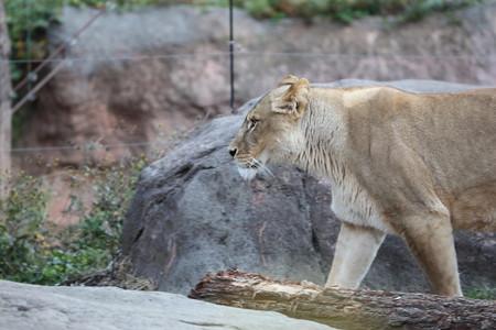 ライオン雌