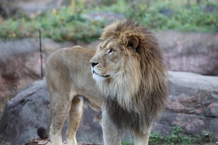 ライオン雄