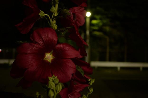 真夜中の露葵