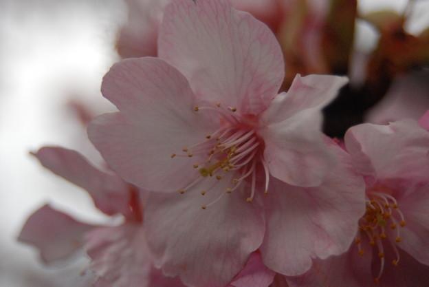 旧中川の 早咲き桜