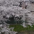 写真: 八田川沿いの桜が満開♪(2015/4/2)No - 5