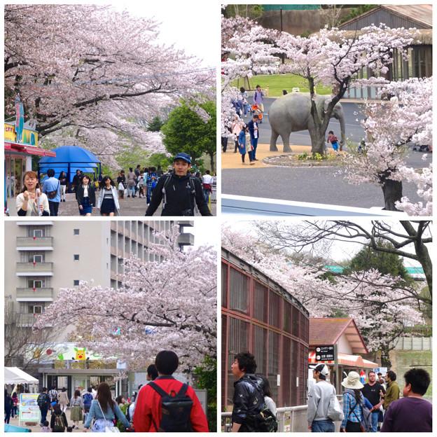 春の東山動植物園:桜が満開♪(2015/4/4)- 2
