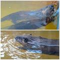 写真: 春の東山動植物園:新しい獣舎でちょっと活き活きしていた、アメリカビーバー