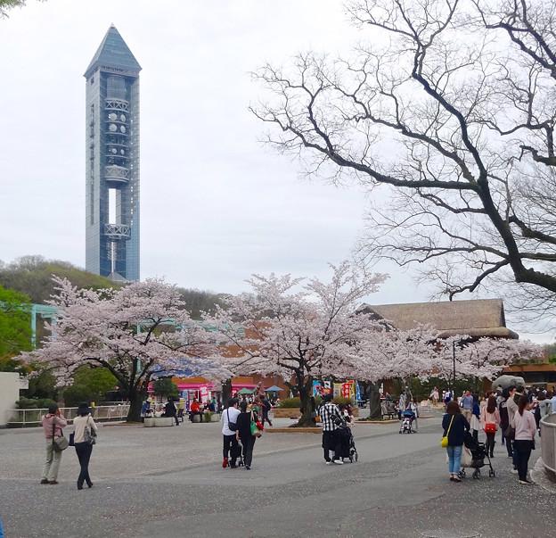 春の東山動植物園 No - 004:満開の桜と東山スカイタワー(2015/4/4)