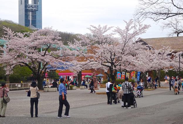 写真: 春の東山動植物園 No - 005:満開の桜(2015/4/4)