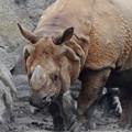 写真: 春の東山動植物園 No - 009:なぜかいつもより茶色がかっていた、インドサイ