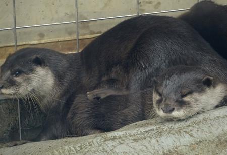 春の東山動植物園 No - 020:とっても可愛らしかった、コツメカワウソの子供