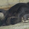 写真: 春の東山動植物園 No - 020:とっても可愛らしかった、コツメカワウソの子供