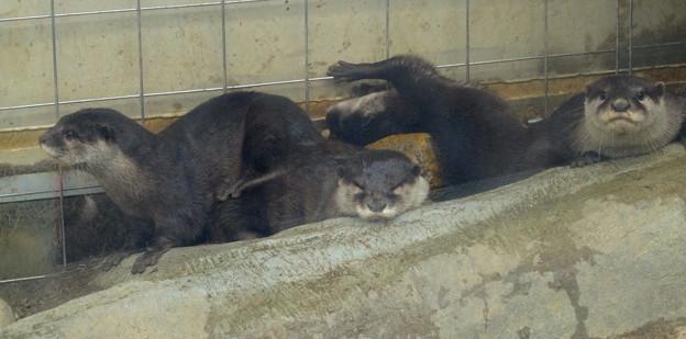 春の東山動植物園 No - 021:とっても可愛らしかった、コツメカワウソの子供
