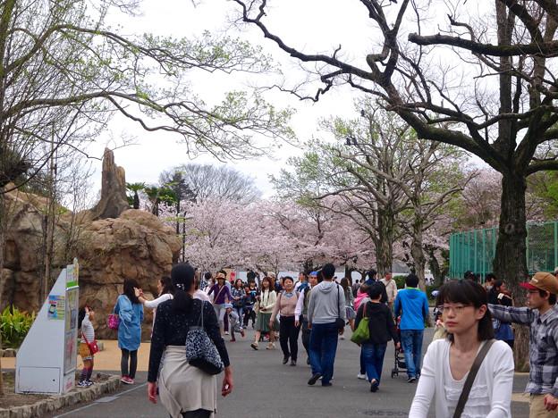 春の東山動植物園 No - 025:満開の桜(2015/4/4)