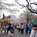 写真: 春の東山動植物園 No - 025:満開の桜(2015/4/4)