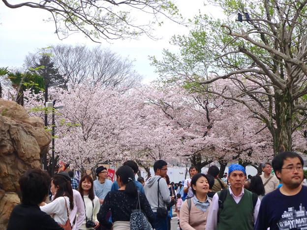 春の東山動植物園 No - 026:満開の桜(2015/4/4)