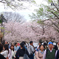 写真: 春の東山動植物園 No - 026:満開の桜(2015/4/4)