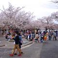 写真: 春の東山動植物園 No - 028:満開の桜(2015/4/4)