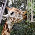 写真: 春の東山動植物園 No - 062:食事中のアミメキリンの親子