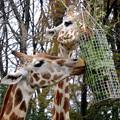 写真: 春の東山動植物園 No - 063:食事中のアミメキリンの親子