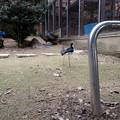写真: 春の東山動植物園 No - 066:一本足で器用に眠る、クロエリセイタカシギ