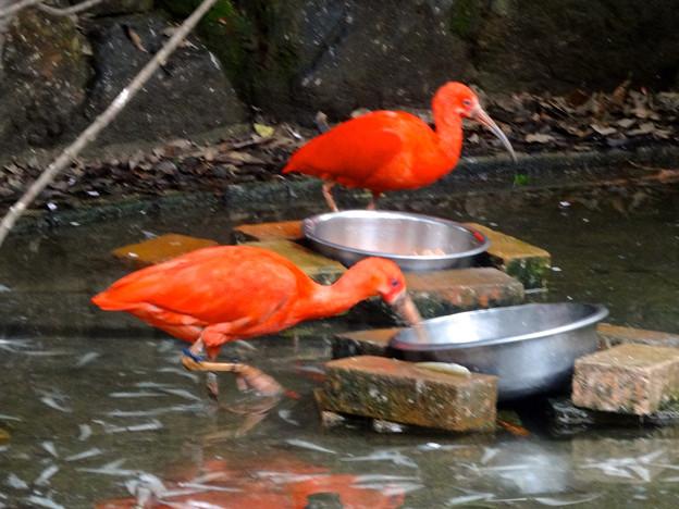 春の東山動植物園 No - 068:食事中のショウジョウトキ