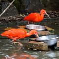 写真: 春の東山動植物園 No - 068:食事中のショウジョウトキ