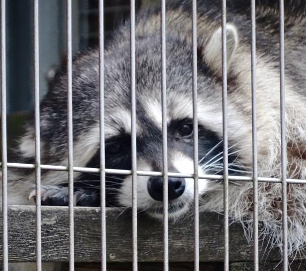 春の東山動植物園 No - 099:ちょうど良い気温なのか、居眠りしだすアライグマ