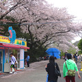 写真: 春の東山動植物園 No - 117:満開の桜(2015/4/4)