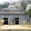 写真: 春の東山動植物園 No - 128:孤独なアフリカゾウと桜(2015/4/4)