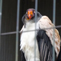 写真: 春の東山動植物園 No - 143:53歳(1962年生まれ)!?の、トキイロコンドル