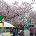 写真: 春の東山動植物園 No - 149:満開の桜(2015/4/4)