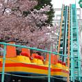 写真: 春の東山動植物園 No - 150:満開の桜(2015/4/4)