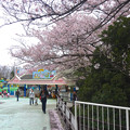 写真: 春の東山動植物園 No - 153:満開の桜(2015/4/4)
