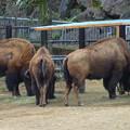 写真: 春の東山動植物園 No - 160:食事中のアメリカバイソン