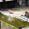 写真: 春の東山動植物園 No - 171:なぜか一直線に並んでこちらを見ていた、カピバラの親子