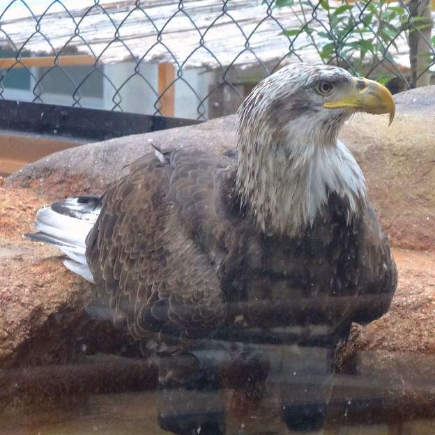 春の東山動植物園 No - 186:誇らしげに写真を撮らせる(?)ハクトウワシ