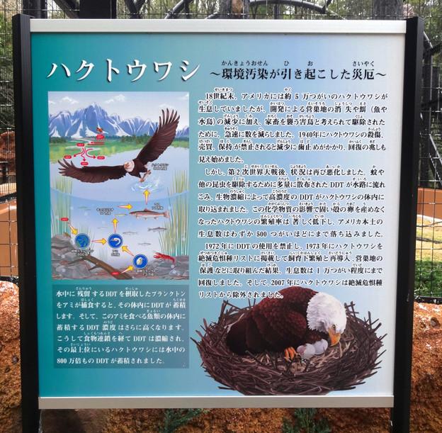 Photos: 春の東山動植物園 No - 187:ハクトウワシの悲劇と再生