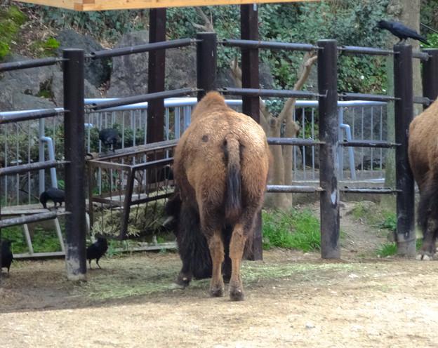 春の東山動植物園 No - 190:食事中のアメリカバイソンに群がるカラス